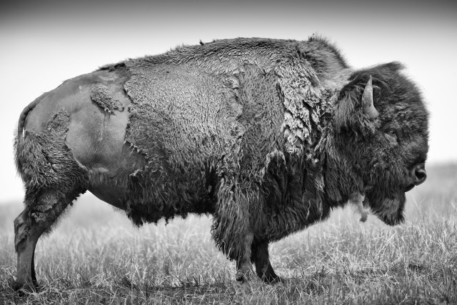 Bison or American buffalo (Bison bison), adult bull shows his broadside, located in the moult and lose the thick winter coat, Bad River Ranch (ranch of Ted Turner), Fort Pierre, South Dakota, USA / Bison oder Amerikanischer Bueffel (Bison bison), adulter Bulle zeigt seine Breitseite, befindet sich im Fellwechsel und verliert das dicke Winterfell, Bad River Ranch (Ranch von Ted Turner), Fort Pierre, South Dakota, USA